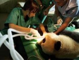 La panda del Zoo podría estar embarazada