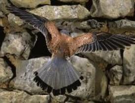 El cernícalo vulgar, un pequeño halcón