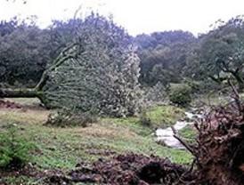 Los forestales retiran las encinas centenarias que arrancó un tornado en Cenicientos