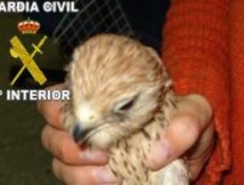 Detenido un hombre por intentar vender un cernícalo, especie en peligro de extinción