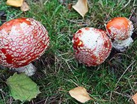 El manjar del otoño, en peligro
