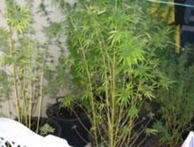 Desmantelada una plantación y un laboratorio de marihuana en Navalcarnero