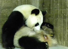 Nace un oso panda gigante en el Zoo