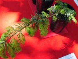 Madrid clona 31 árboles centenarios