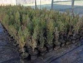 Último día para entregar los árboles de Navidad
