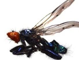 Descubren tres nuevas especies de moscas necrófagas