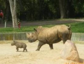 Una cría de rinoceronte blanco es el nuevo vecino del Zoo
