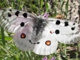 Los forestales hallan una nueva población de mariposa en peligro de extinción