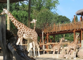 El Zoo de Madrid celebra el Día Mundial de la jirafa