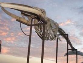 El Botánico exhibe el esqueleto de una gran ballena