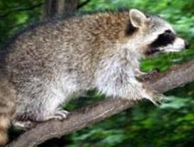 Animales exóticos invaden y amenazan la naturaleza madrileña