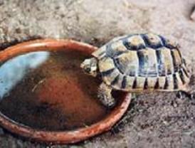 La Comunidad capturará tortugas de Florida para proteger la especie autóctona