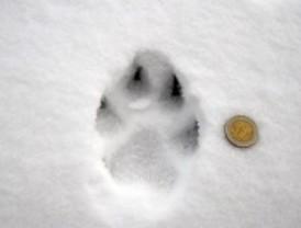 Los forestales constatan la presencia del lobo en la Sierra