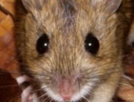 Los ratones de campo: ingenieros de la regeneración forestal