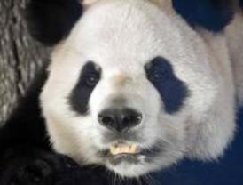 La Plaza de Felipe II acogerá una actividad para dar a conocer los nuevos pandas