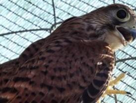 El centro de fauna del Soto de Viñuelas cumple un año