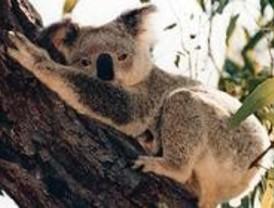 La cría de koala que nació en el zoo se llamará Noosa