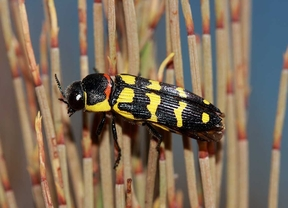 Hallan una especie amenazada de escarabajo en la finca El Espartal