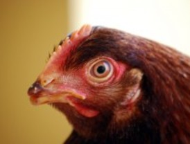 Activistas liberan cuatro gallinas de una granja ecológica
