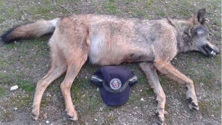 Agentes forestales hallan el cadáver de un lobo en la M-608 que posiblemente ha sido atropellado