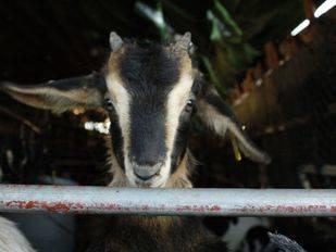 El Ministerio concede el logo de raza autóctona a la cabra de Guadarrama