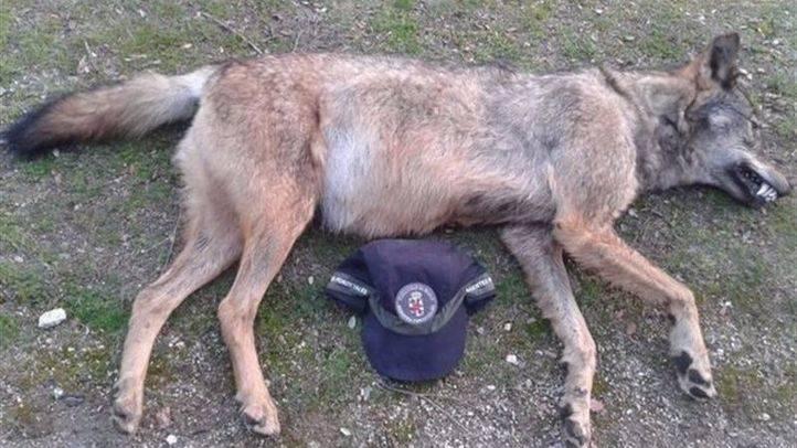 Hallan muerto a un segundo lobo en una carretera del norte de la región