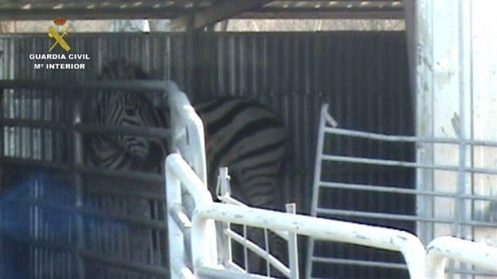 Una de las cebras rescatadas en la operación