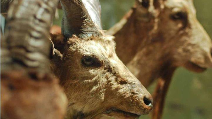 La Comunidad tiene un plan para reducir la población de cabras en el Parque Nacional de la Sierra de Guadarrama