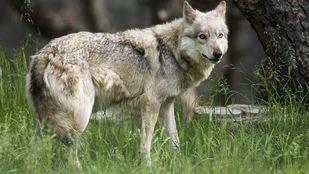 Más de 200 colectivos exigirán en Sol la prohibición de la caza del lobo