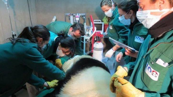El Zoo insemina a su panda gigante para alumbrar su quinta Chu-Lin