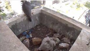 Captura de la Web Cam de SEO/BirdLife de una pareja de Halcones en los aledaños del Santiago Bernabéu