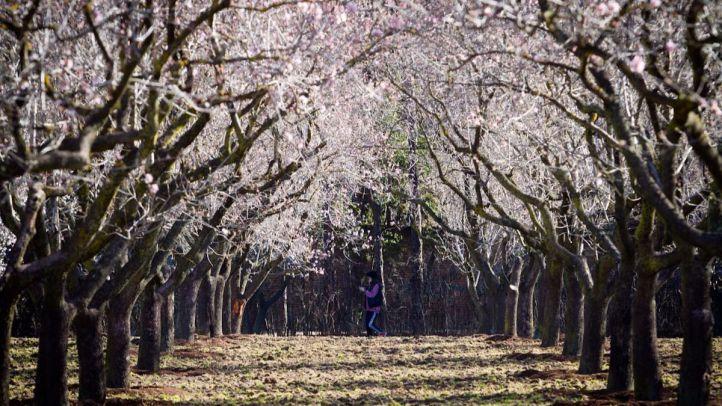 Almendros en flor en el parque de la Quinta de los Molinos.