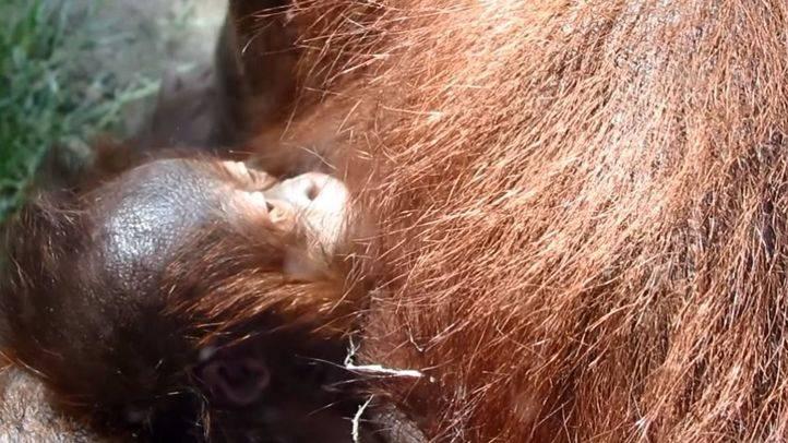 Nace una cría de orangután en el Zoo de Madrid