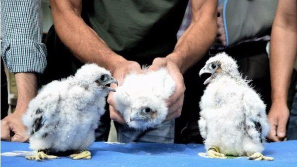 El halcón peregrino cría por primera vez en el casco urbano de Alcalá