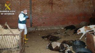 Maltrato animal en una explotación ganadera