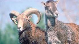 PACMA lleva a la Fiscalía el plan para matar a 2.700 cabras en el parque nacional de Guadarrama