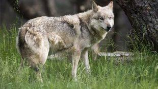 Los ganaderos siguen a la espera de las ayudas por ataques de lobo
