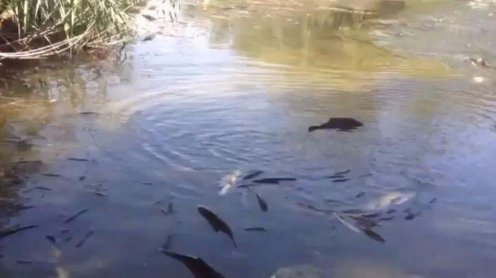Peces muertos en el cauce del Henares