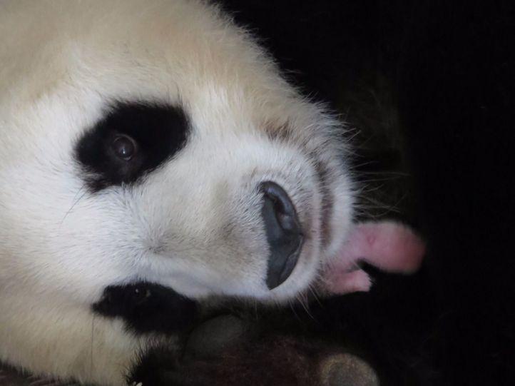 Nace una hembra de oso panda en el Zoo Aquarium
