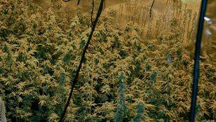 Plantación de marihuana (archivo)