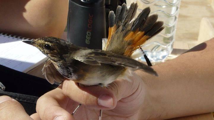 Un ave anillada en un taller de SEO BIrdLife (archivo)
