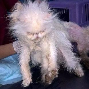 Uno de los gatos rescatados en estado de 'desnutrición'.