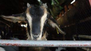 Un juzgado de Madrid paraliza la matanza de 2.700 cabras montesas en Guadarrama