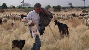 Las ovejas llegan andando a Madrid tras cinco años haciéndolo en camión