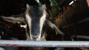 El Boalo estrena cita dedicada a la autóctona cabra de Guadarrama