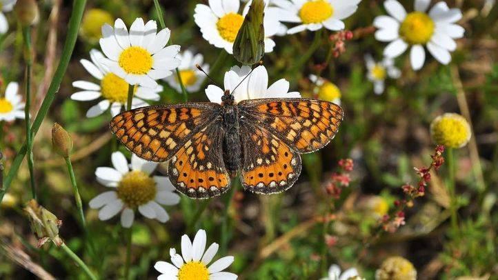 Mariposa Euphydrias aurinia