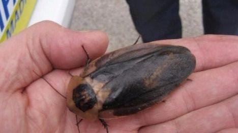 Una de las 54 cucarachas gigantes encontradas en Carabanchel.