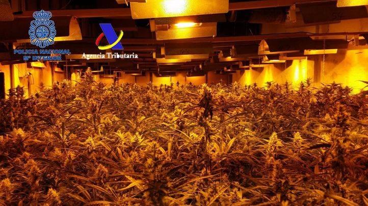 Plantas de marihuana incautadas en Alcalá de Henares, escenario de la misma investigación