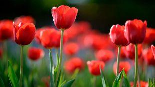 Los tulipanes provocaron la primera gran crisis financiera de la historia