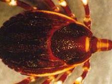 Las garrapatas del género Hyalomma son el vector principal de la fiebre hemorrágica de Crimea-Congo